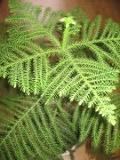 Ogrodnik-amator, opis rośliny, Araukaria wyniosła, Araucaria heterophylla, Araucaria excelsa,  Norfolk Island pine, uprawa araukarii, rośliny do domu, rośliny doniczkowe, rośliny pokojowe, rośliny iglaste, rośliny o efektownym wyglądzie, rośliny do zimowego ogrodu, drzewa iglaste