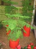 rośliny pokojowe , araukaria