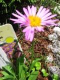 Ogrody, zdjęcia astrów alpejskich, aster alpejski w ogrodzie