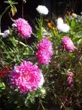 ogród ozdobny , rośliny kwiaty jednoroczne, rośliny  kwitnące jesienią, aster chiński, kwiaty do bukietów