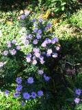 rośliny wieloletnie, aster gawedka