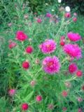 Ogrodnik-amator, opis rośliny, aster nowoangielski, Aster novae angliae,. New England aster, uprawa astrów nowoangielskich, astry bylinowe, kwiaty wieloletnie, byliny, kwiaty efektownie kwitnące, kwiaty ogrodowe, kwiaty jesieni, kwiaty letnie, kwiaty łatwe w uprawie,  rośliny kwitnące jesienią, na rabaty bylinowe,  do ogrodu naturalistyczneg