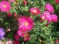 Ogrodnik-amator, opis rośliny, Aster nowobelgijski,  Aster novi-belgii, New York Aster, uprawa astrów nowobelgijskich, opis rośliny, kwiaty wieloletnie, byliny, kwiaty w czerwonym, różowym, fiolietowoniebieskim i białym kolorze, kwiaty jesienne, kwiaty łatwe w uprawie,  kwiaty do ogrodów, kwiaty wytrzymałe