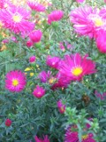 aster nowobelgijski, galeria roślin