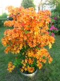 krzewy ogrodowe, krzewy łatwe w uprawie, krzewy liściaste, azalie
