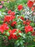 Ogrody, rośliny, krzewy, azalia ogrodowa