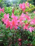 zdjęcia azalii ogrodowej, azalia ogrodowa