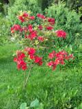 Ogrodnik-amator, opis rośliny, Azalia ogrodowa, Rhododendron, Azalea, uprawa azalii, opis rośliny, krzewy kwitnące wiosną, krzewy o różowych kwiatach, krzewy na gleby kwaśne, krzewy do cienia, Krzewy łatwe w uprawie