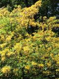 azalia pontyjska, galeria roślin, na literę a