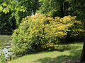 krzewy odobne, ogród park, azalia pontyjska, nad wodą aranżacje ogrodowa, galeria ogrodowa
