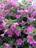 Ogrodnik-amator, opis rośliny, Bakopa, Sutera diffusus,Bacopa, uprawa bakopy, opis rośliny, Kwiaty jednoroczny uprawiane z rozsady, kwiaty wielobarwne, kwiaty letnie, kwiaty łatwe w uprawie, kwiaty trudniejsze w uprawie, rośliny kwitnące latem, rośliny do letniego ogrodu, rośliny letnie, rośliny balkonowe