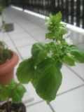 Ogrodnik-amator, opis rośliny, Bazylia zielona, Ocimum basilicum ang. Sweet basil, uprawa bazylii, rośliny użytkowe, rośliny zielne, zioła, roślina o aromatycznych liściach, zioło do uprawy w doniczce, zioła na parapet, zioła przyprawowe, ogród użytkowy, rośliny zielne