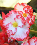 Ogrodnik-amator, opis rośliny, Begonia bulwiasta, Begonia tuberhybrida, Tuberous begonia, uprawa begonii bulwiastej, opis rośliny, kwiaty wieloletnie, rośliny cebulowe, rośliny bulwiaste