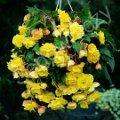 Ogrody, rośliny  cebulowe , begonia zwisająca