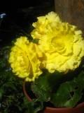 begonia bulwiasta, begonie bulwiaste, uprawa begonii bulwiastych