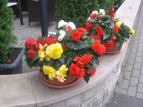 begonie na murku, zdjęcia ogrodów,  balkony, tarasy, dodatki ogrodowe,  rośliny ozdobne, aranżacje, ogród, urządzanie ogrodu, aranżacje z roślin, galeria ogrodowa, begonia bulwiasta
