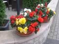 rośliny balkonowe , tarasowe, begonia bulwiasta
