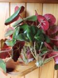 begonia hydrocotylifolia,  begonia kłaczowa o ozdobnych lisciach rośliny pokojowe, rośliny doniczkowe