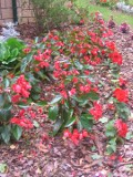 begonia mieszańcowa, galeria roślin, zdjęcia, rośliny na literę b