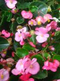 Ogrody, rośliny  cebulowe , begonia stale kwitnąca