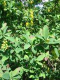 berberys pospolity, zdjęcia roślin, galeria roślin