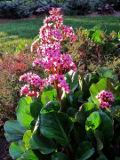 Ogrodnik-amator, opis rośliny, Bergenia sercowata,   Bergenia cordifolia, Elephants ear, uprawa bergenii sercowatej