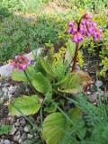 ogród kwiaty ogrodowe , byliny,  kwiaty kwitnące wiosną bergenia sercowata