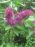 Ogrodnik-amator, opis rośliny, lilak, bez, Syringa, Uprawa lilaków, bzów, krzewy lilaka bzów, krzewy pachnące