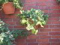 pnącza ozdobne, , ogród, bluszcz na murze, aranżacje ogrodowa, galeria ogrodowa