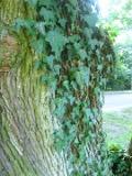 Ogrodnik-amator, opis rośliny, Bluszcz pospolity, Hedera Felix, Ivy, uprawa bluszczu pospolitego, opis rośliny, pnacze zimozielone, pnącze wieloletnie, liście ozdobne, pnącze o dekoracyjnych liściach, pnącza łatwe w uprawie, rośliny dekoracyjne przez cały rok, rośliny do okrywania murów, rośliny do zacienionego ogrodu