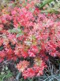 Ogrodnik-amator, opis rośliny, Bodziszek czerwony, Geranium sanguineum, uprawa bodisków czerwonych, kwiaty wieloletnie, byliny, kwiaty efektownie kwitnące, kwiaty ogrodowe, kwiaty o drobnych kwiatach,  kwiaty lata, kwiaty letnie, kwiaty łatwe w uprawie,  rośliny kwitnące latem