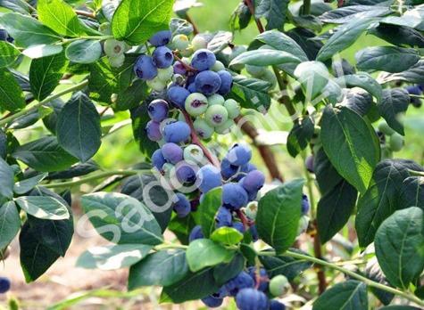 borówka amerykańska odmiany, borówka wysoka ogród , rośliny do ogrodu kwiecień w ogrodzie kalendarz ogrodnika, ogrodnik-amator.pl