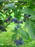 ogród użytkowy, owoce, krzewy owocowe, borówka amerykańska
