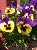 kwiaty bratki