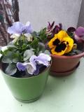 Ogrodnik-amator, opis rośliny, Bratek, Viola, Pansy, pansy violet, uprawa bratków, opis rośliny, Kwiaty dwuletnie, kwiaty ogrodowe, kwiaty cięte, kwiaty wiosenne, kwiaty łatwe w uprawie