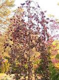 Ogrodnik-amator, opis rośliny, Brzoza brodawkowata,  Betula pendula, Silver birch, uprawa brzozy, brzoza w ogrodzie, opis rośliny, drzewa łatwe w uprawie, drzewa lisciaste, drzewa ozdobne, drzewa z biała korą, galeria drzew, rośliny na zimę, drzewa do jesiennego ogrodu, drzewa o dekoracyjnym pniu, rośliny wytrzymałe, drzewo brzoza