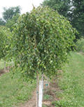 drzewa ogrodowe, drzewa do małego ogrodu, drzewa lisciaste, brzoza brodawkowata