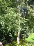 drzewa ogrodowe, drzewa łatwe w uprawie, drzewa lisciaste, brzoza brodawkowata