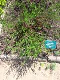 brzoza karłowata, galeria roślin, zdjęcia roślin na b