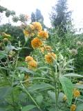 krzewy Liściaste , budleja weyera