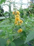krzewy liściaste, budleja weyera