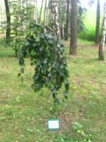 Ogrody, zdjęcia buka pospolitego, uprawa buków, pielęgnacja buk pospolity