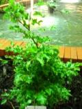 Ogrodnik-amator, opis rośliny, Buk pospolity, Fagus sylvatica, European Beech, uprawa buka zwyczajnego, opis rośliny, drzewo o kolorowych liściach jesienią, drzewa do cienia, drzewa liściaste, drzewa ozdobne, galeria drzew, rośliny na jesień, drzewa do  jesiennego ogrodu, drzewa o dekoracyjnych liściach, drzewa do ogrodu