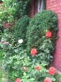 Ogrodnik-amator, opis rośliny, Bukszpan, Buxus sempervirens,Common box, uprawa bukszpanu, krzewy zimozielone, Krzewy łatwe w uprawie, krzewy trudniejsze w uprawie, kalendarz kwitnienia krzewów, galeria krzewów, rośliny na zimę, cięcie krzewów, krzewy o błyszczących liściach, krzewy na obwódki, bukszpany na żywopłoty