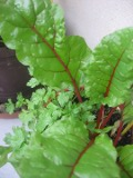 burak liściowy, galeria roślin, zdjęcia roślin na b