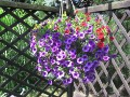 Ogrody, zdjęcia milion bells, calibrachoa w ogrodzie