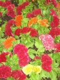 kwiaty balkonowe, celozja grzebieniasta, balkony i tarasy