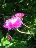 chaber cesarski, zdjęcia roślin