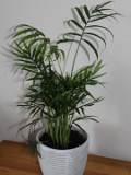 rośliny doniczkowe, pokojowe, chamedora wytworna, palma
