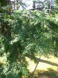 Ogrodnik-amator, opis rośliny, Choina kanadyjska, Tsuga canadensis, Eastern Hemlock, Canadian Hemlock, uprawa choiny kanadyjskiej, opis rośliny, pielęgnacja choiny kanadyjskiej, drzewa dość łatwe w uprawie, drzewa iglaste, iglak, iglaki